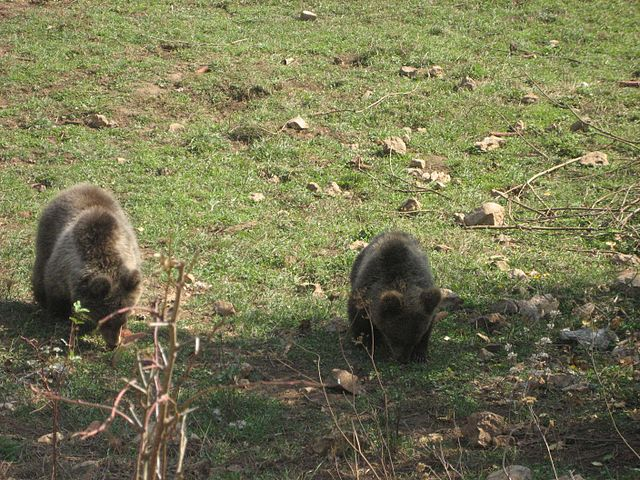 Bear sanctuary in Kuterevo, Croatia