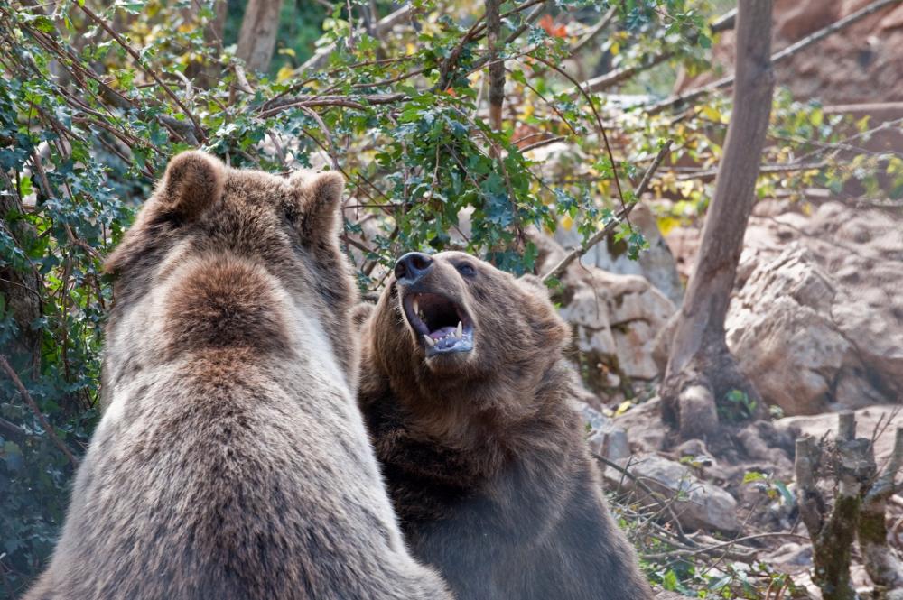 Bear sanctuary in Kuterevo, Croatia